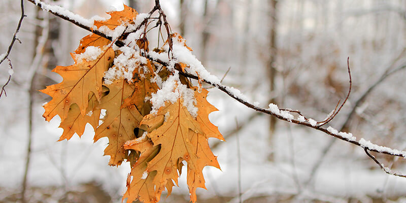 leaves covered in snow